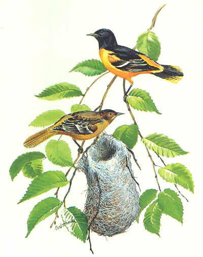 Image Result For Animated Oriole Bird
