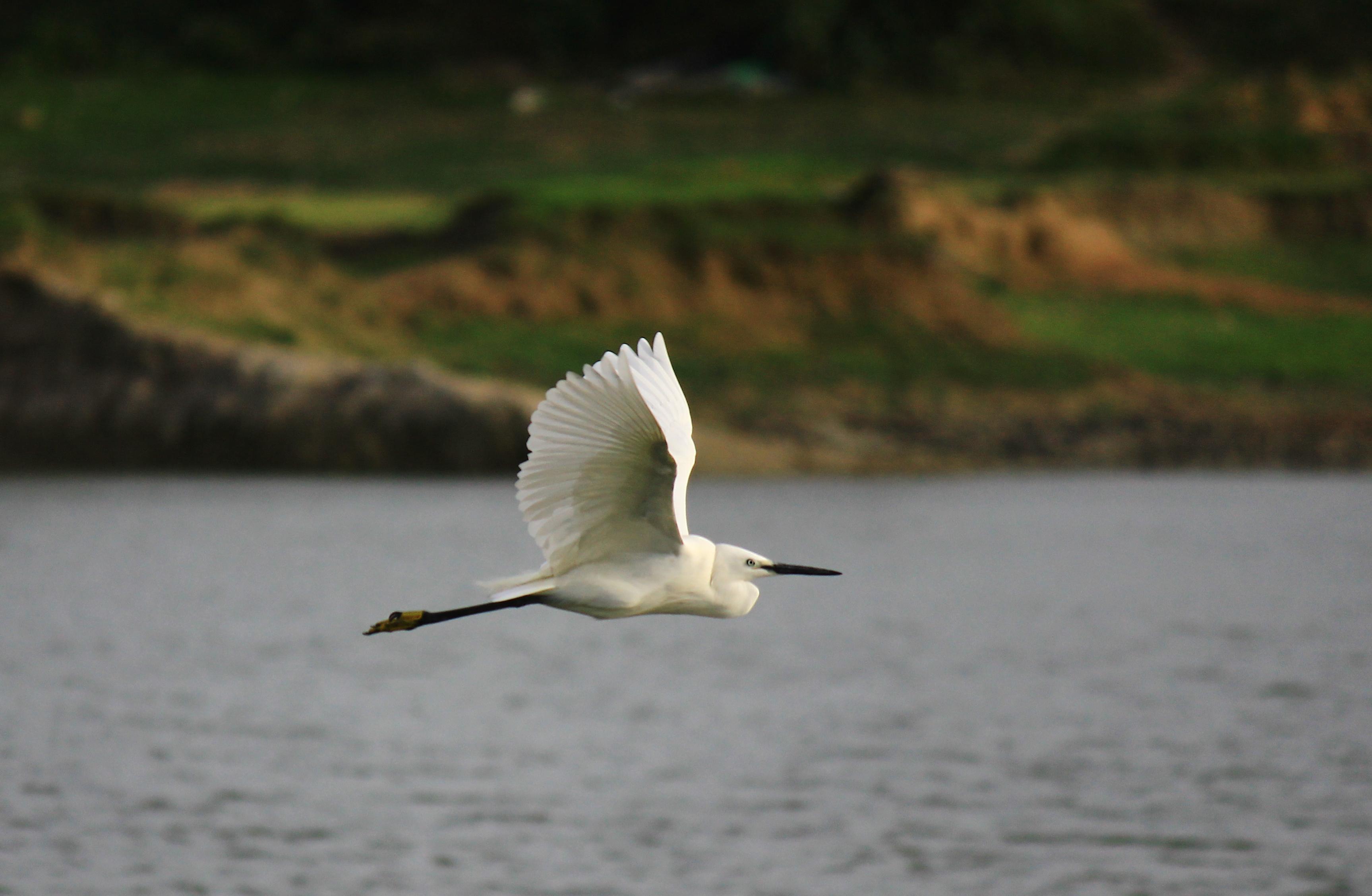 file little egret flying with neck
