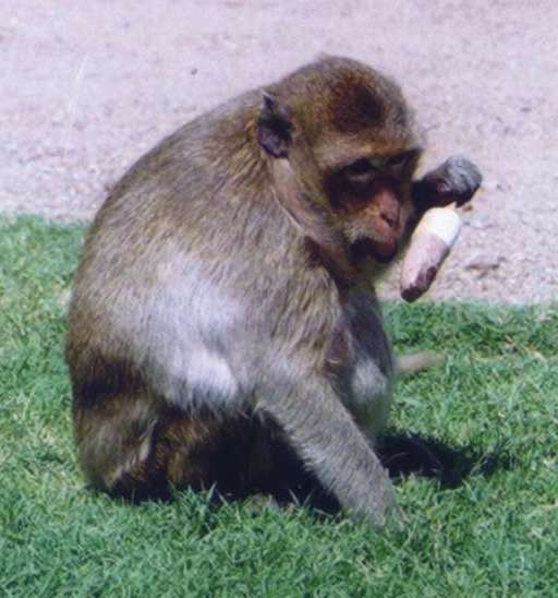 Gambar:Macaque Eating Ice Cream.jpg