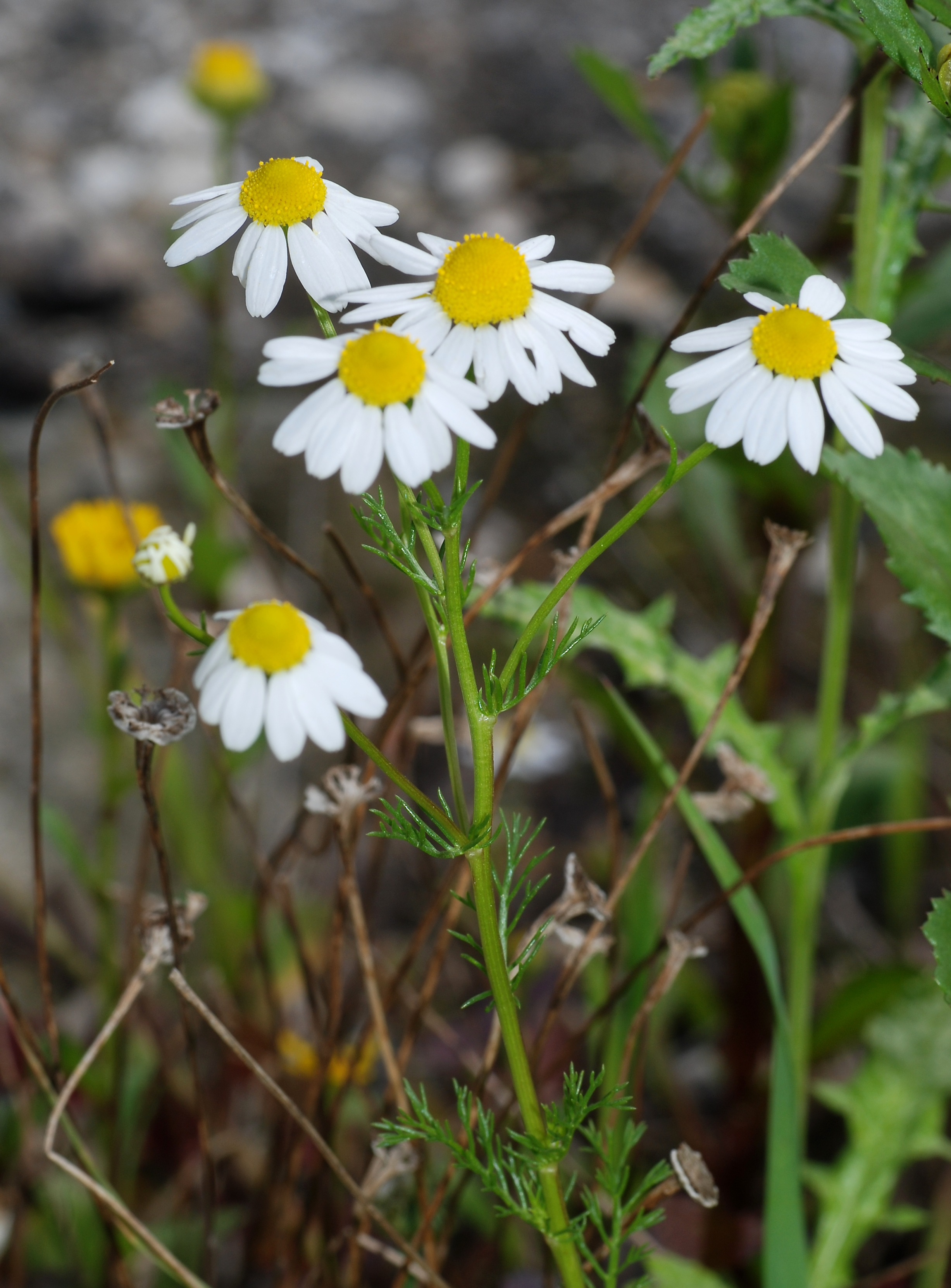 CHAMOMILE: A Trustworthy Herbal Muscle Relaxant