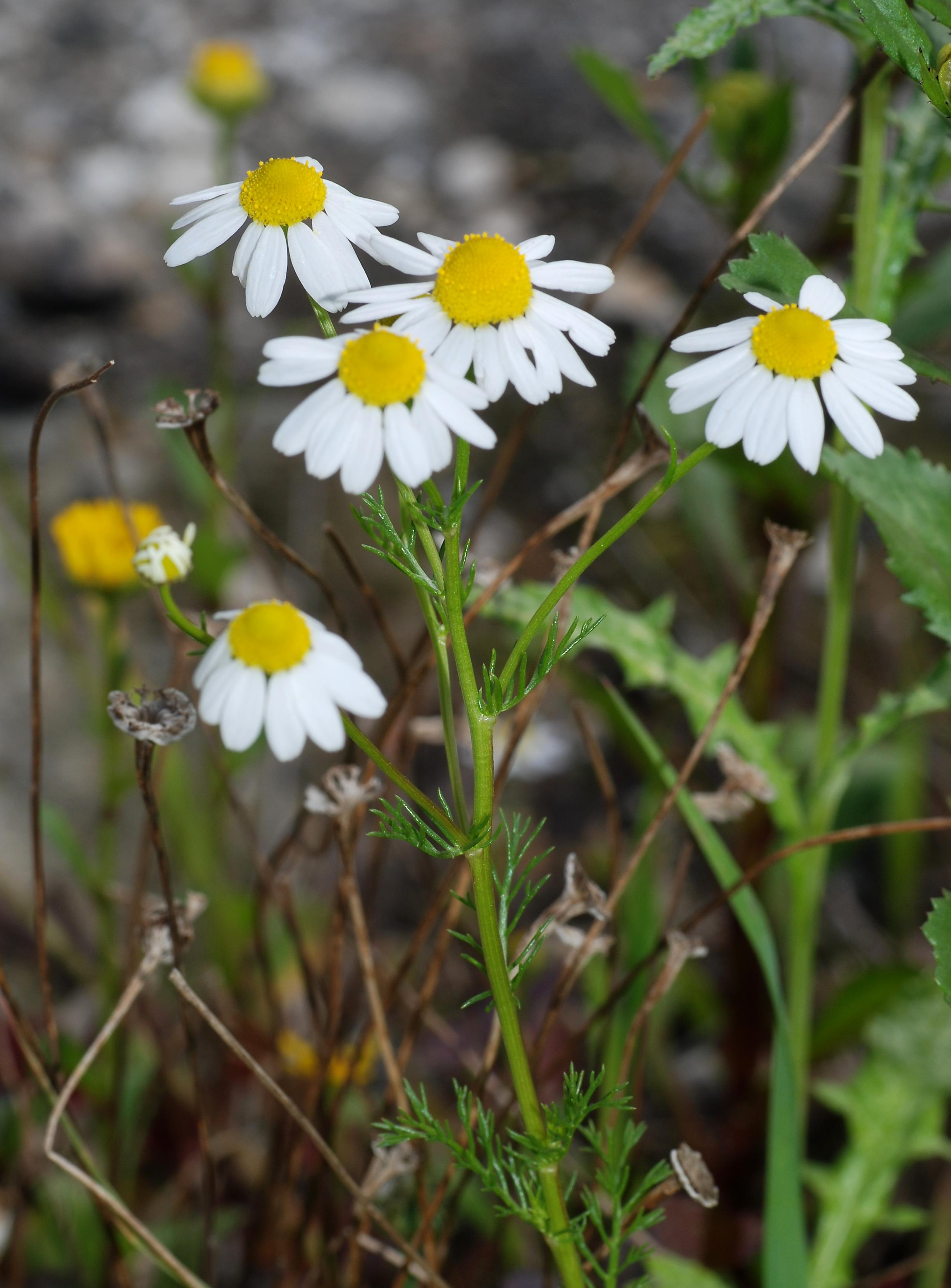 Matricaria chamomilla - Wikipedia