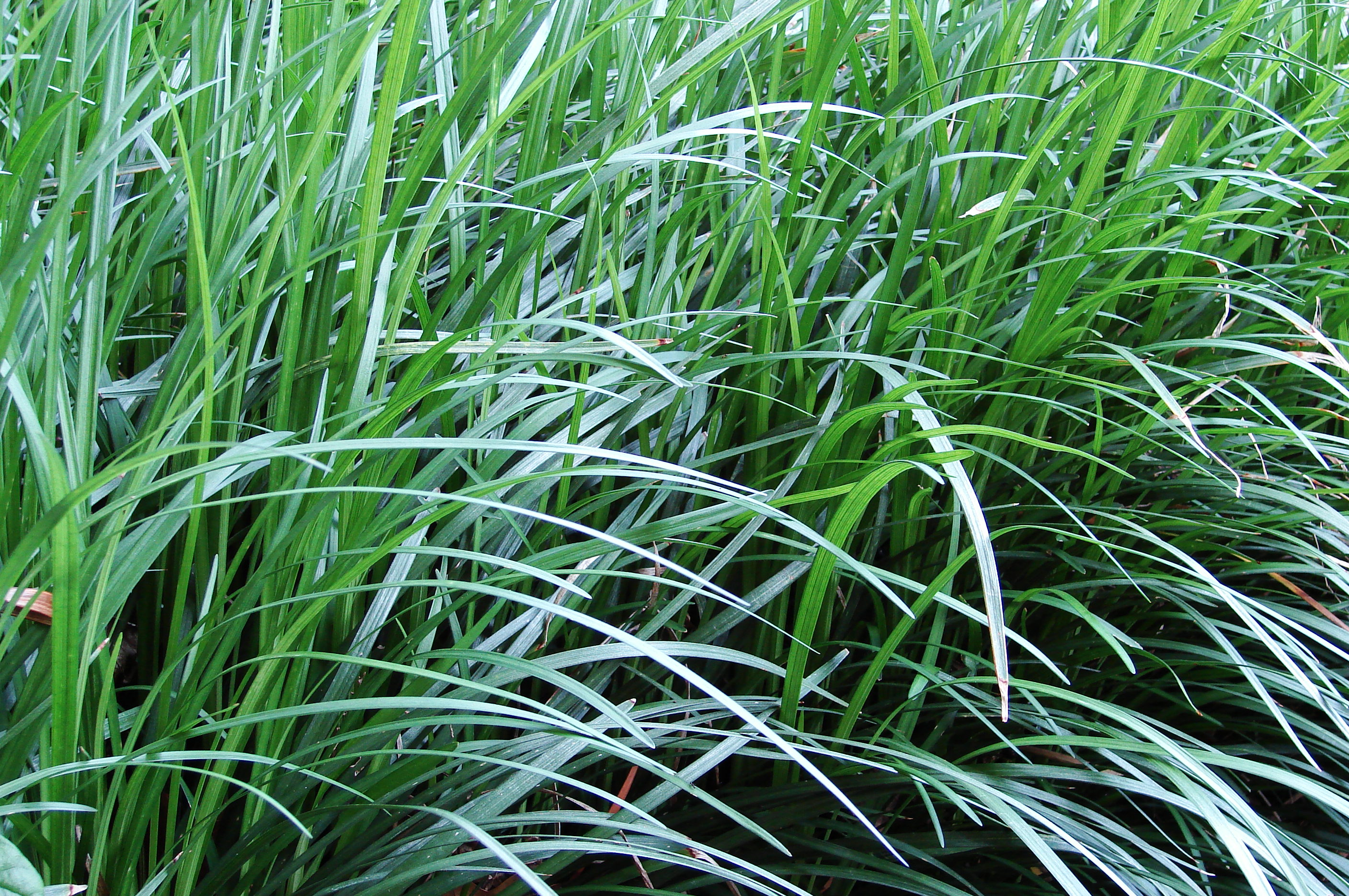 File monkeygrass wikimedia commons for Tall ornamental grasses for shaded areas