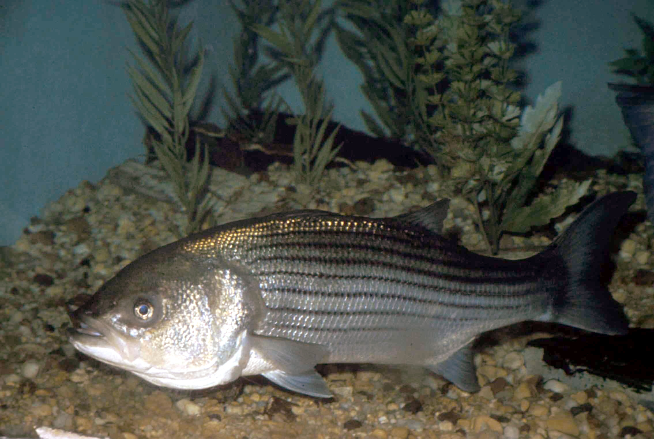 Fish finder fishing talks for Striper fish pictures