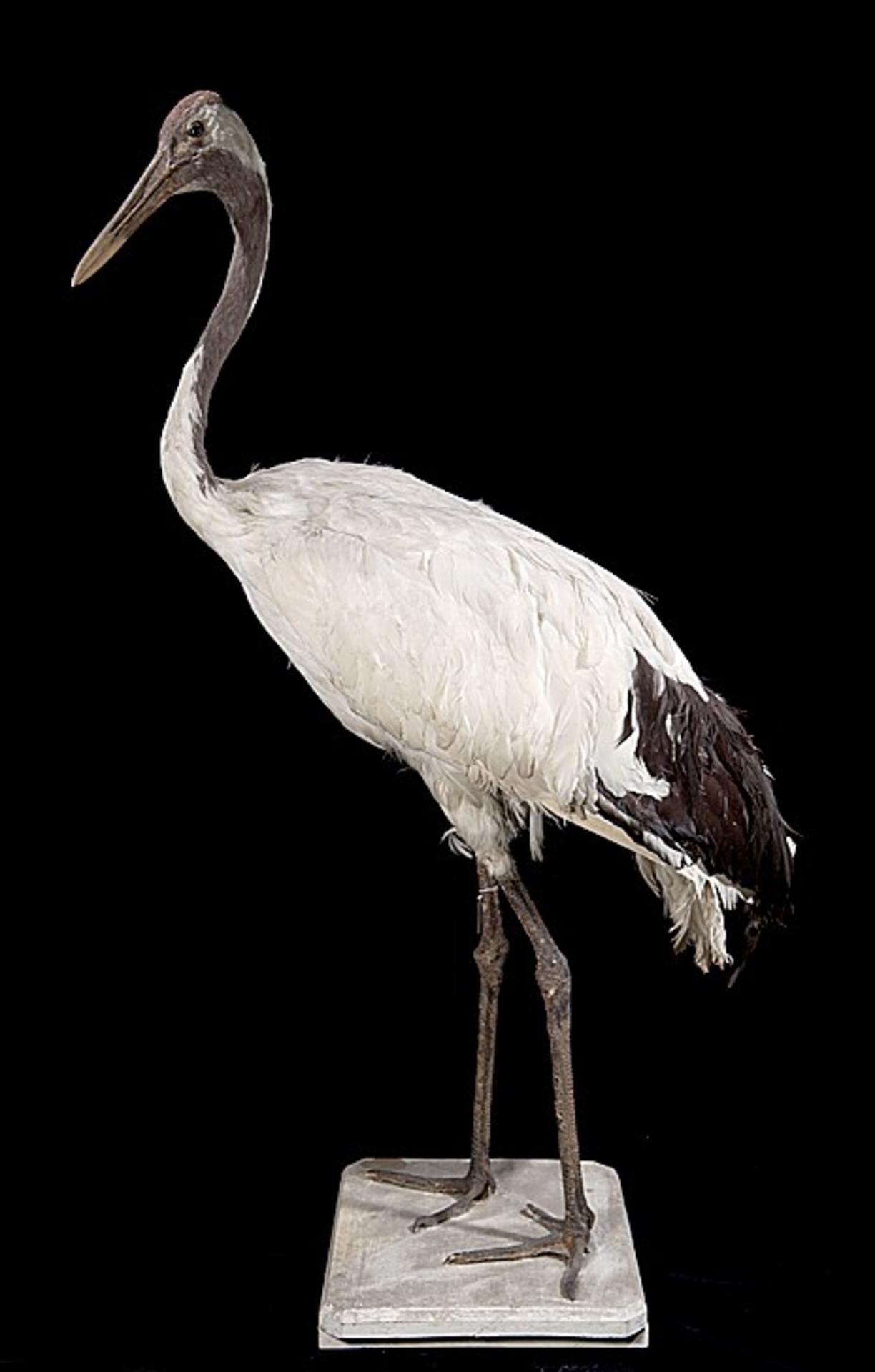Naturalis Biodiversity Center - ZMA.AVES.56857 - Grus japonensis (p. l. s. muller) c.f. Statius Muller, 1776 - Gruidae - skin specimen.jpeg