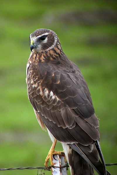 Northern (Hen) Harrier