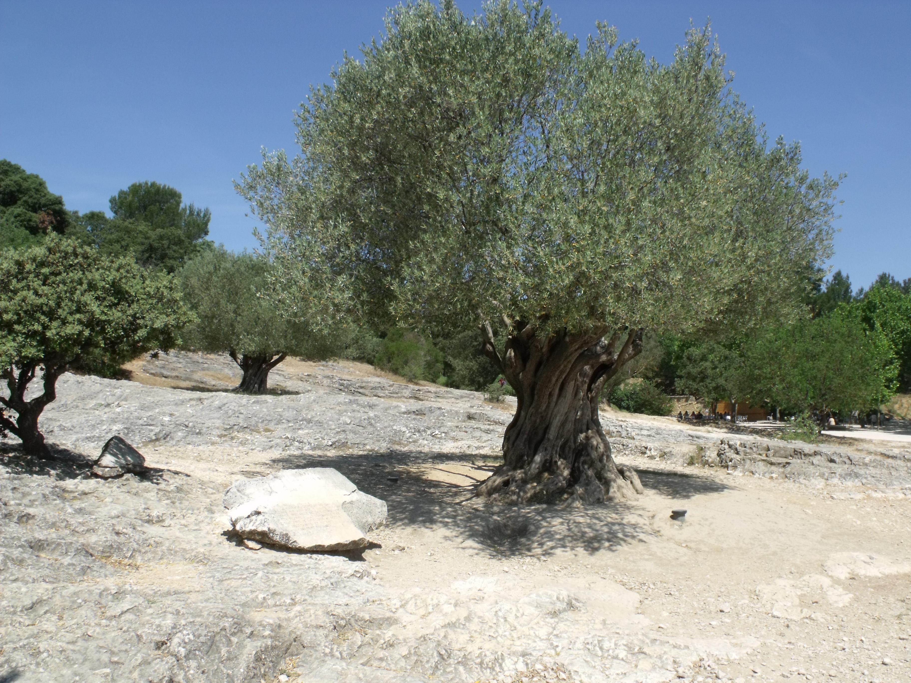 Il Cultive L Olivier olive de nîmes — wikipédia