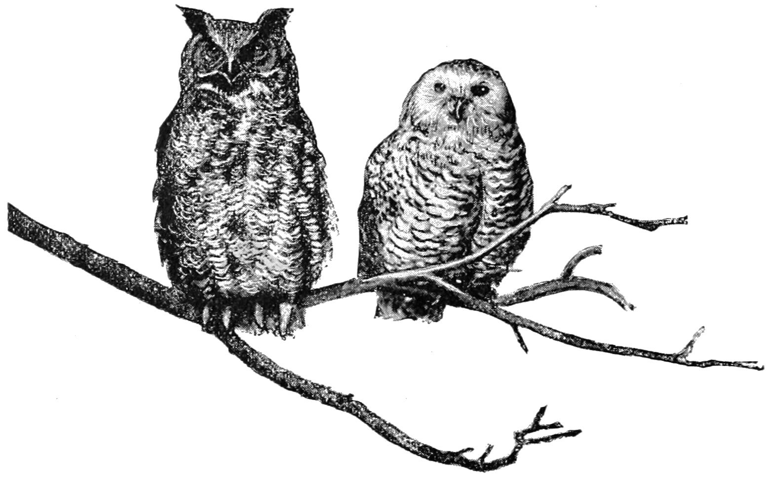 File:PSM V41 D334 Great horned and snowdon owls.jpg - Wikimedia Commons