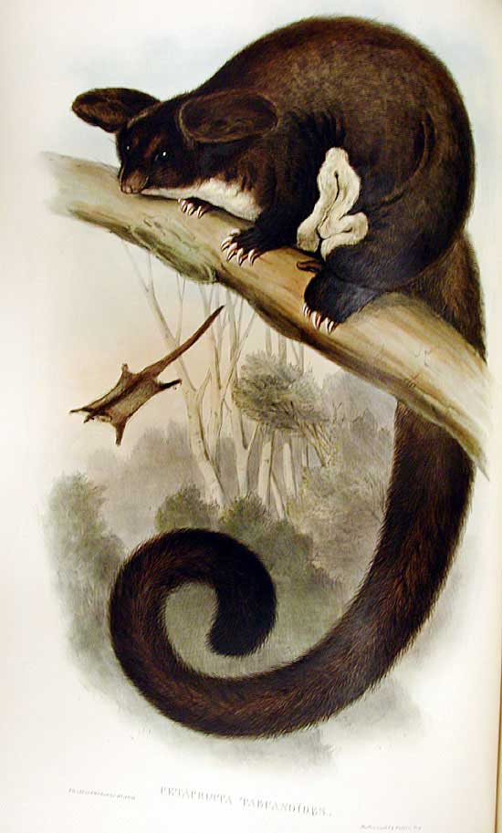 A Greater glider gets as old as 15 years