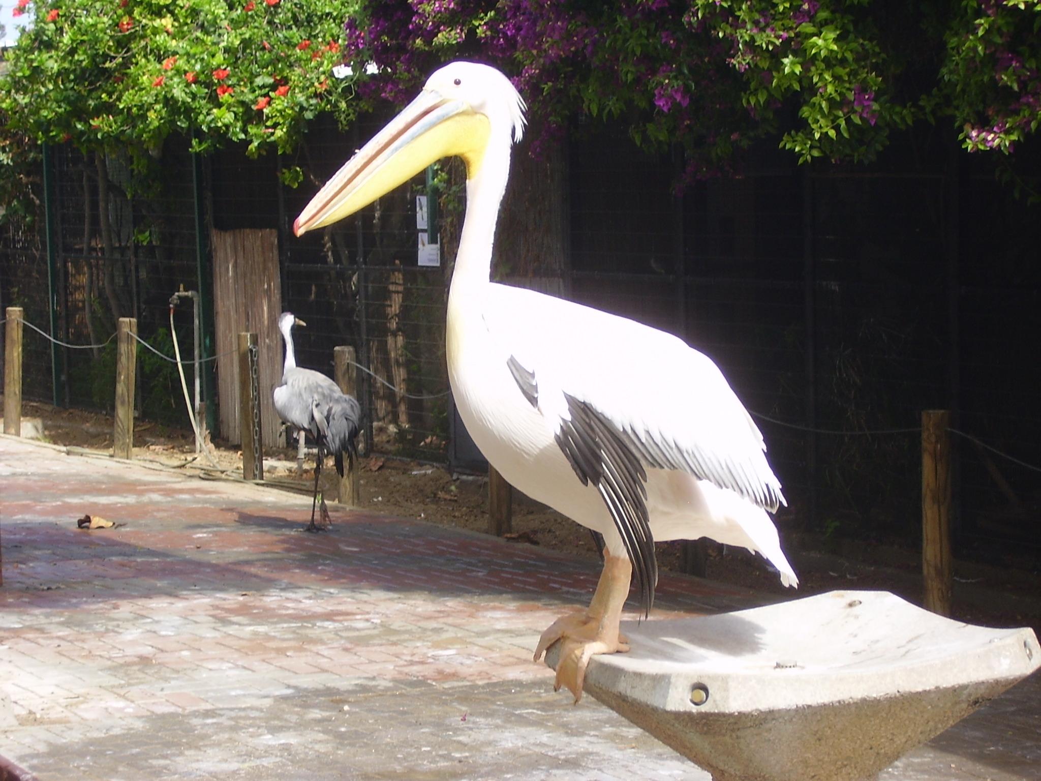 file pikiwiki israel 12904 cran pelican jpg wikimedia commons