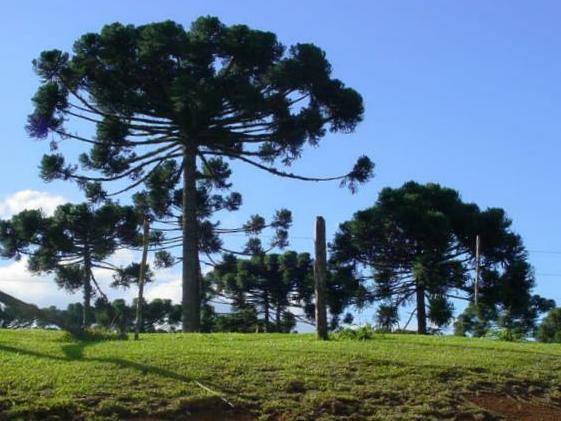 Ficheiro:Pinheiro-do-Paraná.jpg
