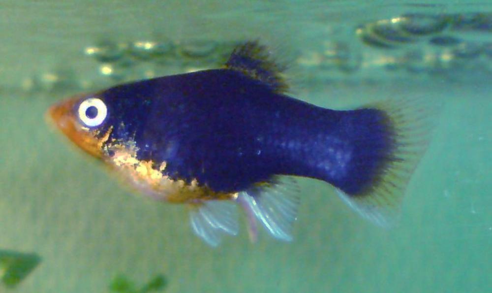 File:Platy (fish).jpg - Wikimedia Commons