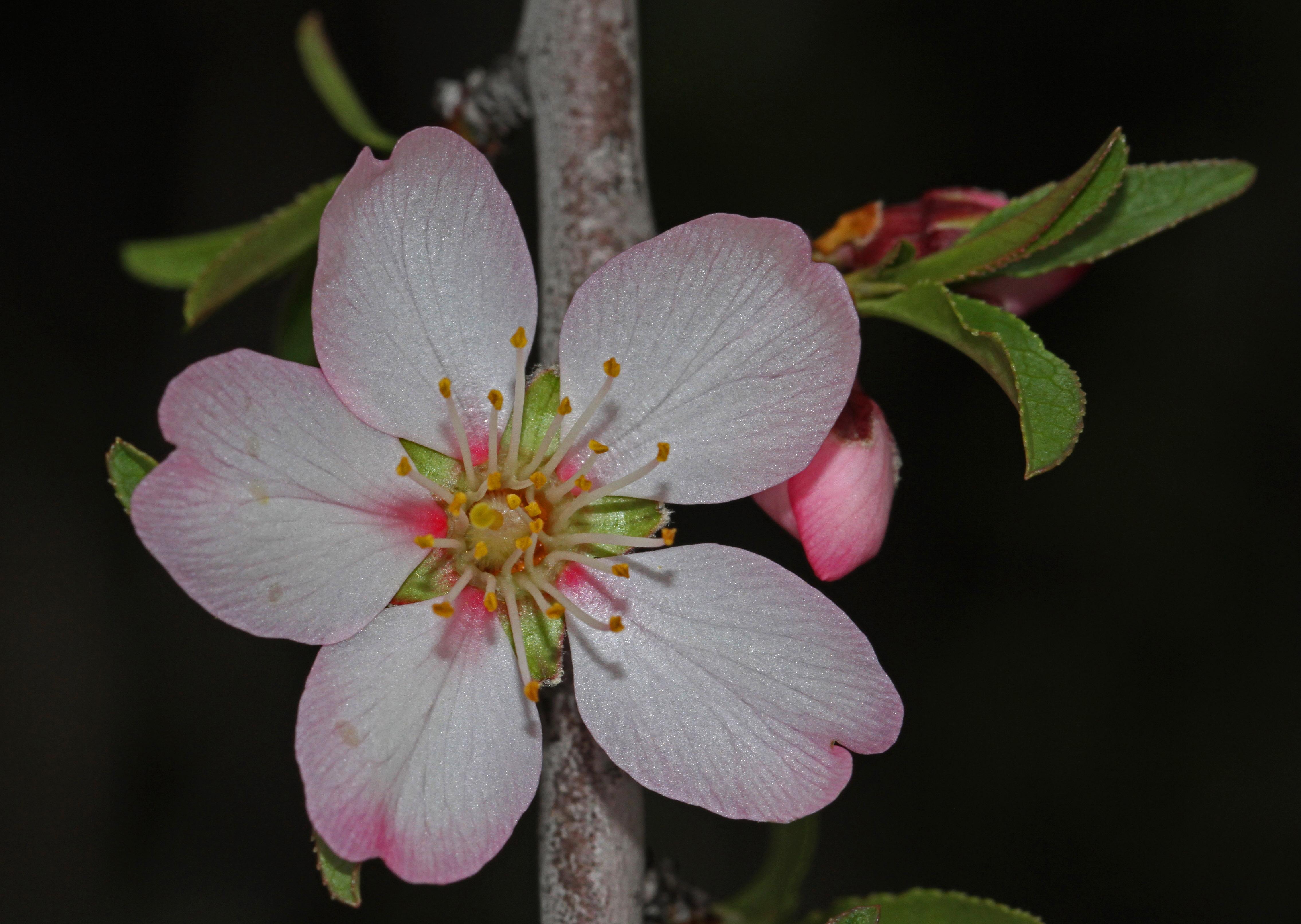 Prunus webbii (4).jpg