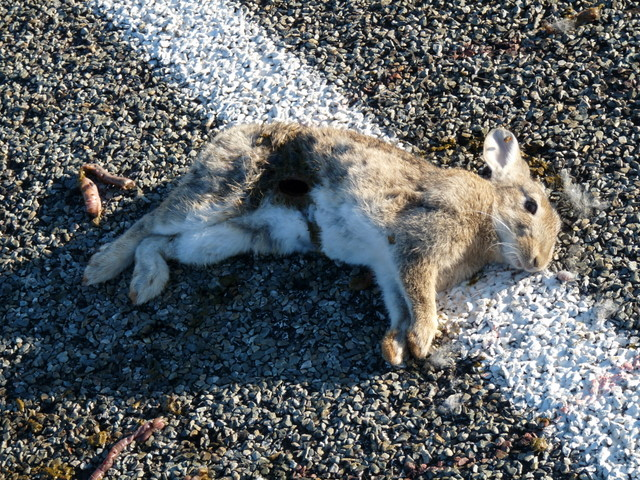 Roadkill Rabbit