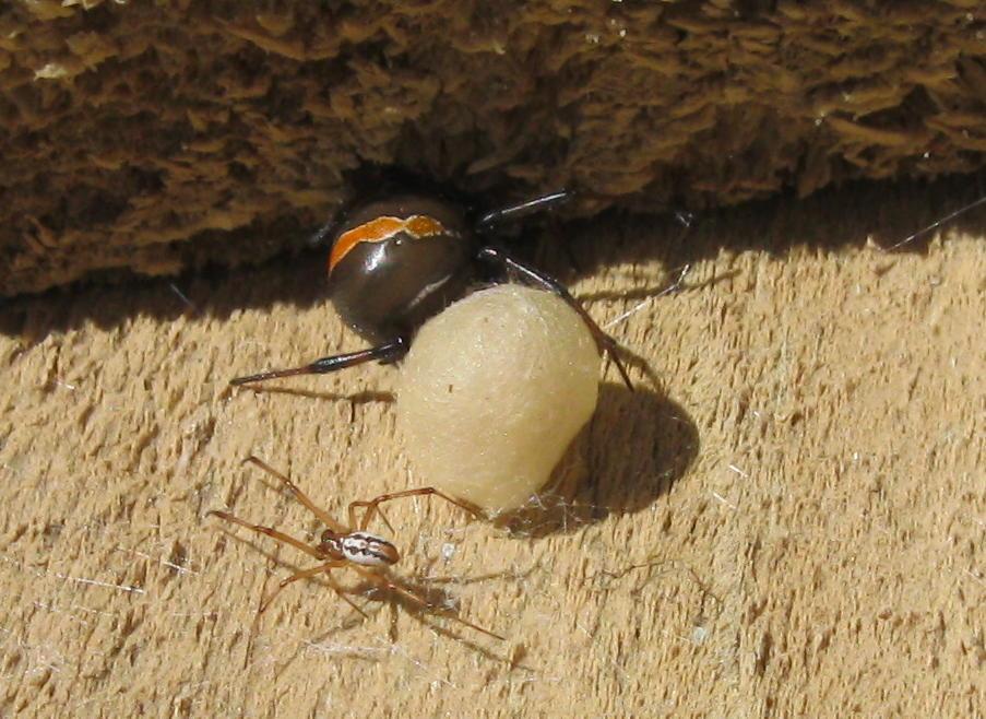Black widow spiders habitat