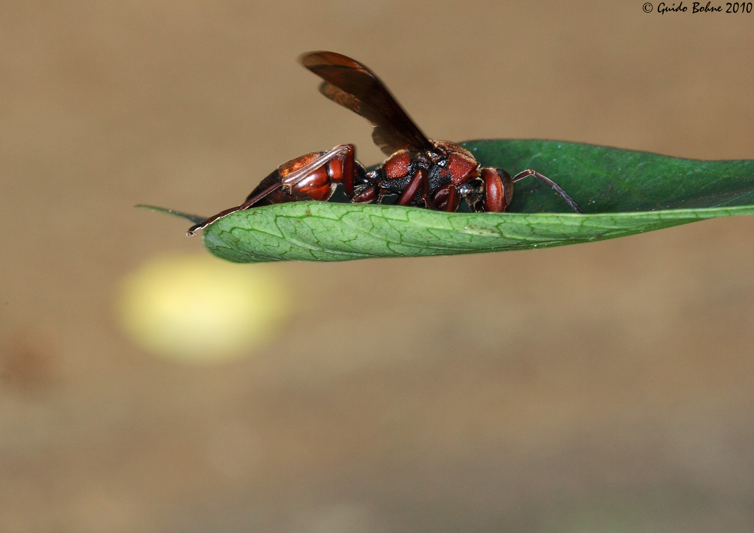 Red_paper_wasp_from_W-Java_%285243533558%29.jpg
