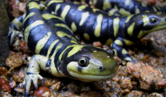 Western tiger salamander