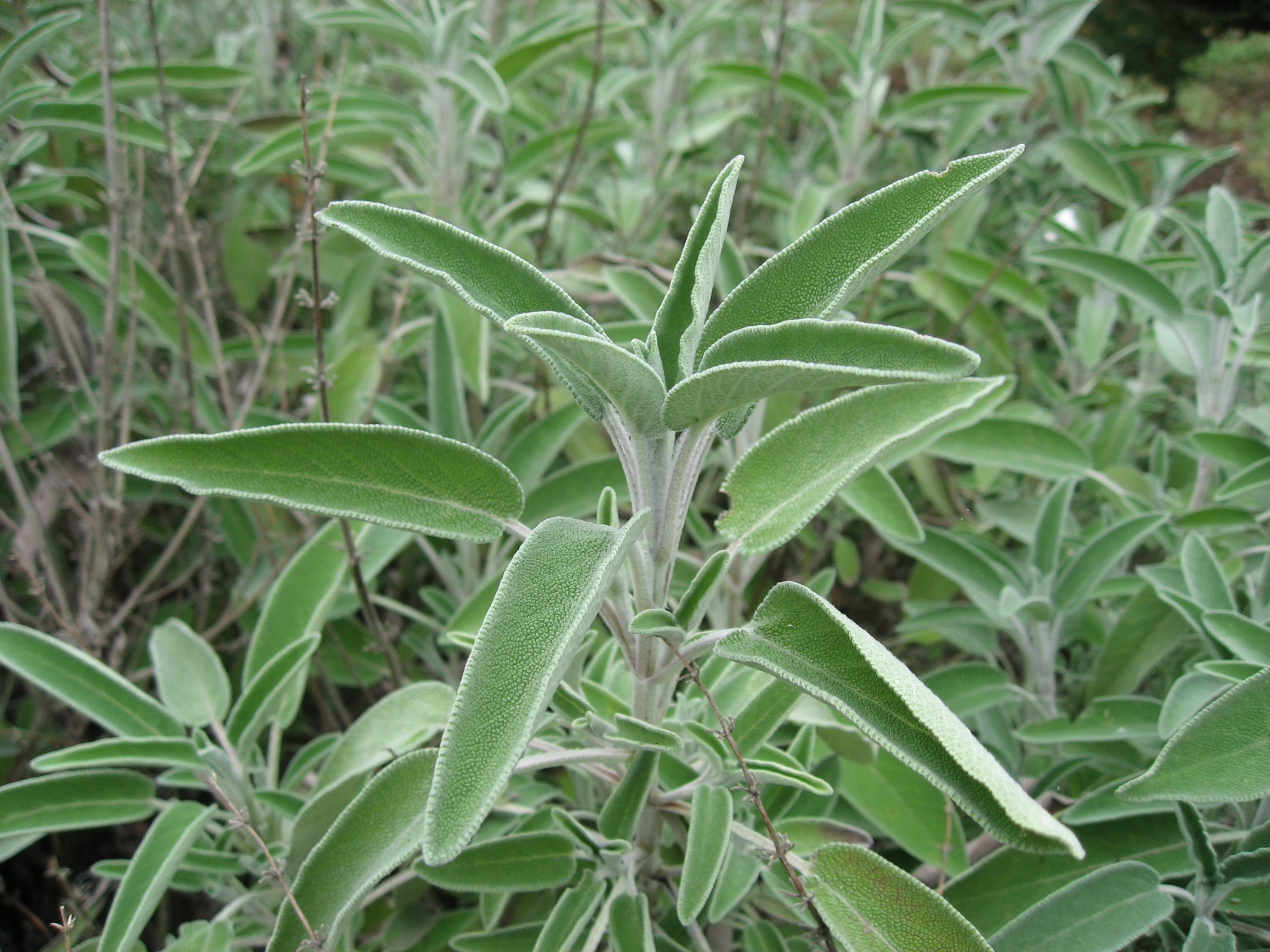 Figura Salvia officinalis 01