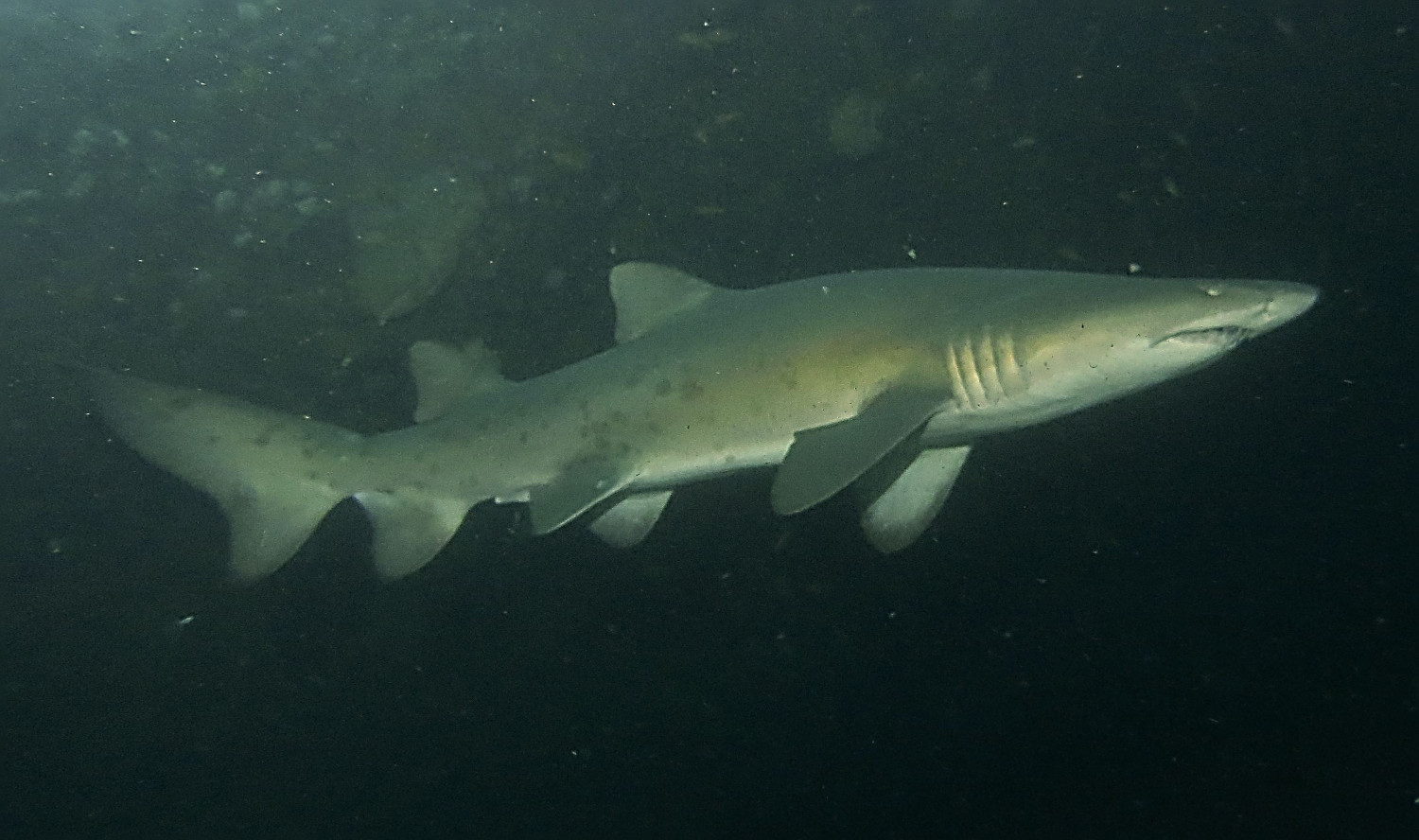 Baby sand tiger sharks - photo#24