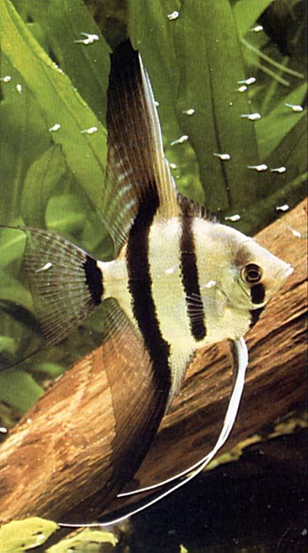 File skalar z wikimedia commons for Skalar aquarium