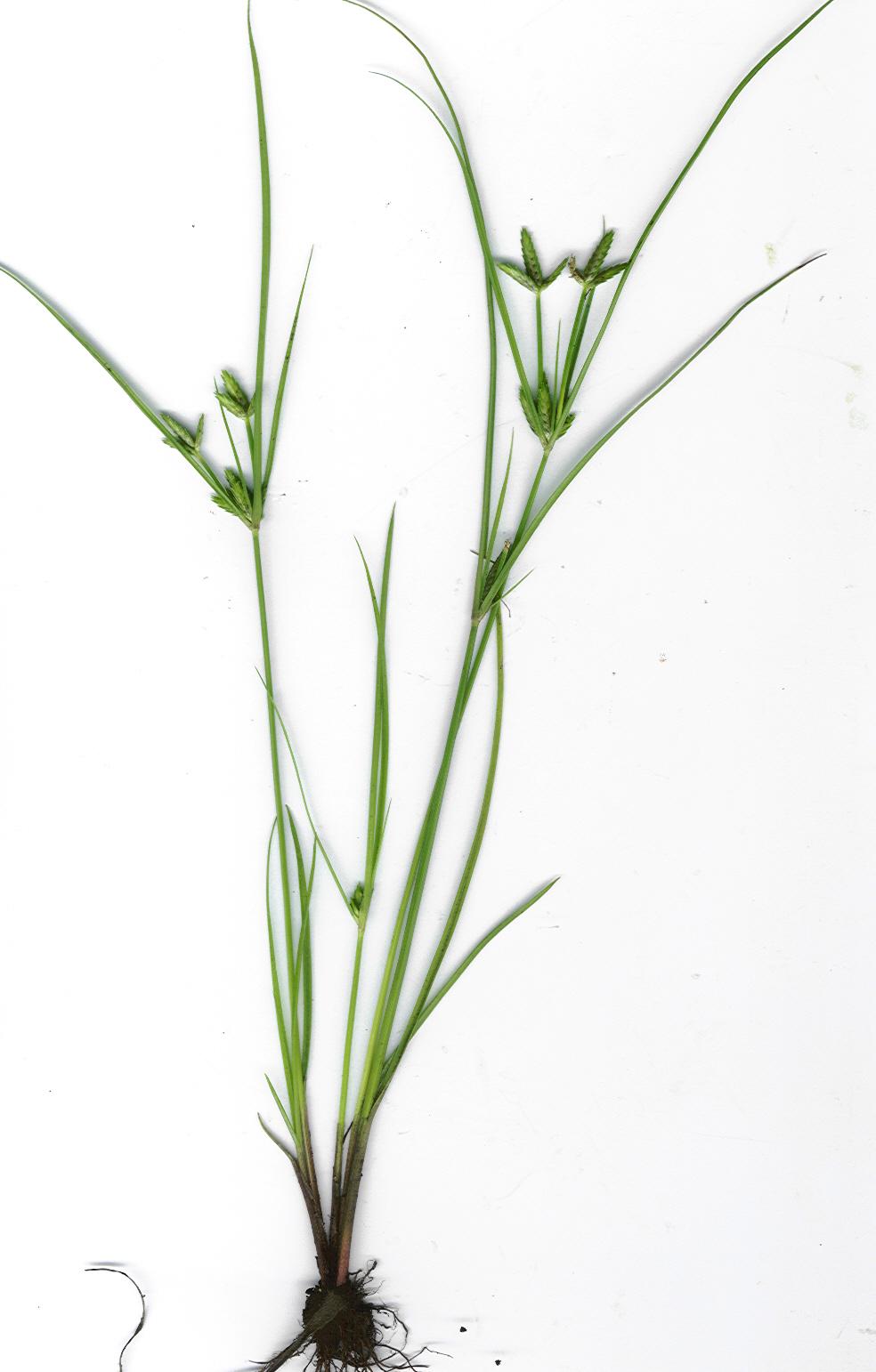 Cyperus Compressus  U2014 Wikip U00e9dia