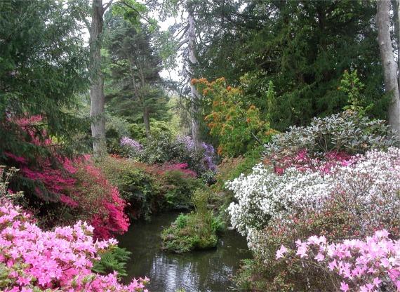Streamside azaleas, Bodnant Garden - geograph.org.uk - 331036