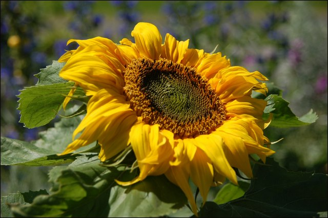 File:Sunflower - geograph.org.uk - 502916.jpg