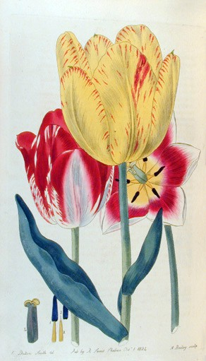 "Tulipani - illustrazione tratta da ""The British Flower Garden"""