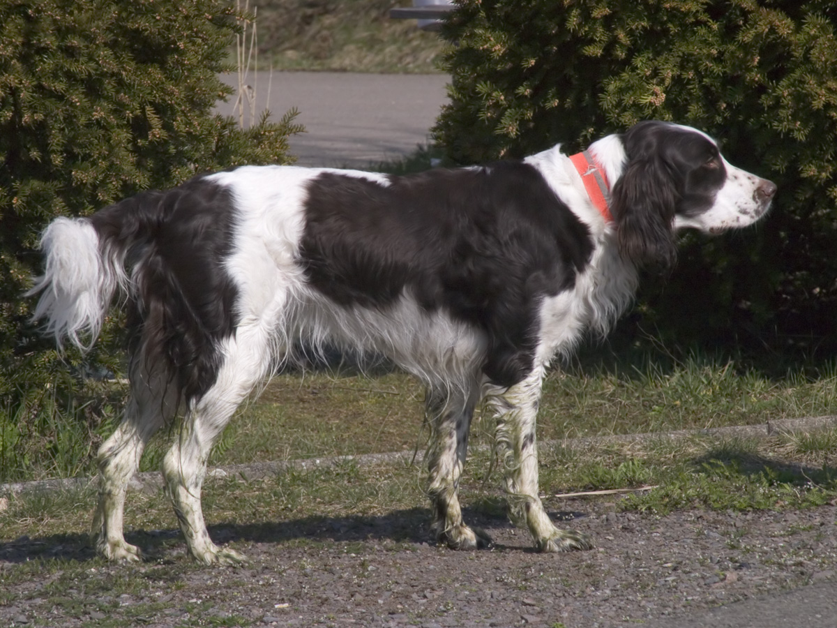 Hunting Dogs For Sale Australia