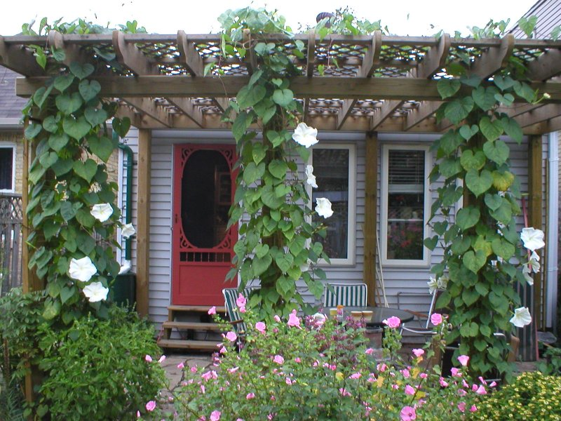 File 2004 moonflowers in - Plantas trepadoras para muros ...