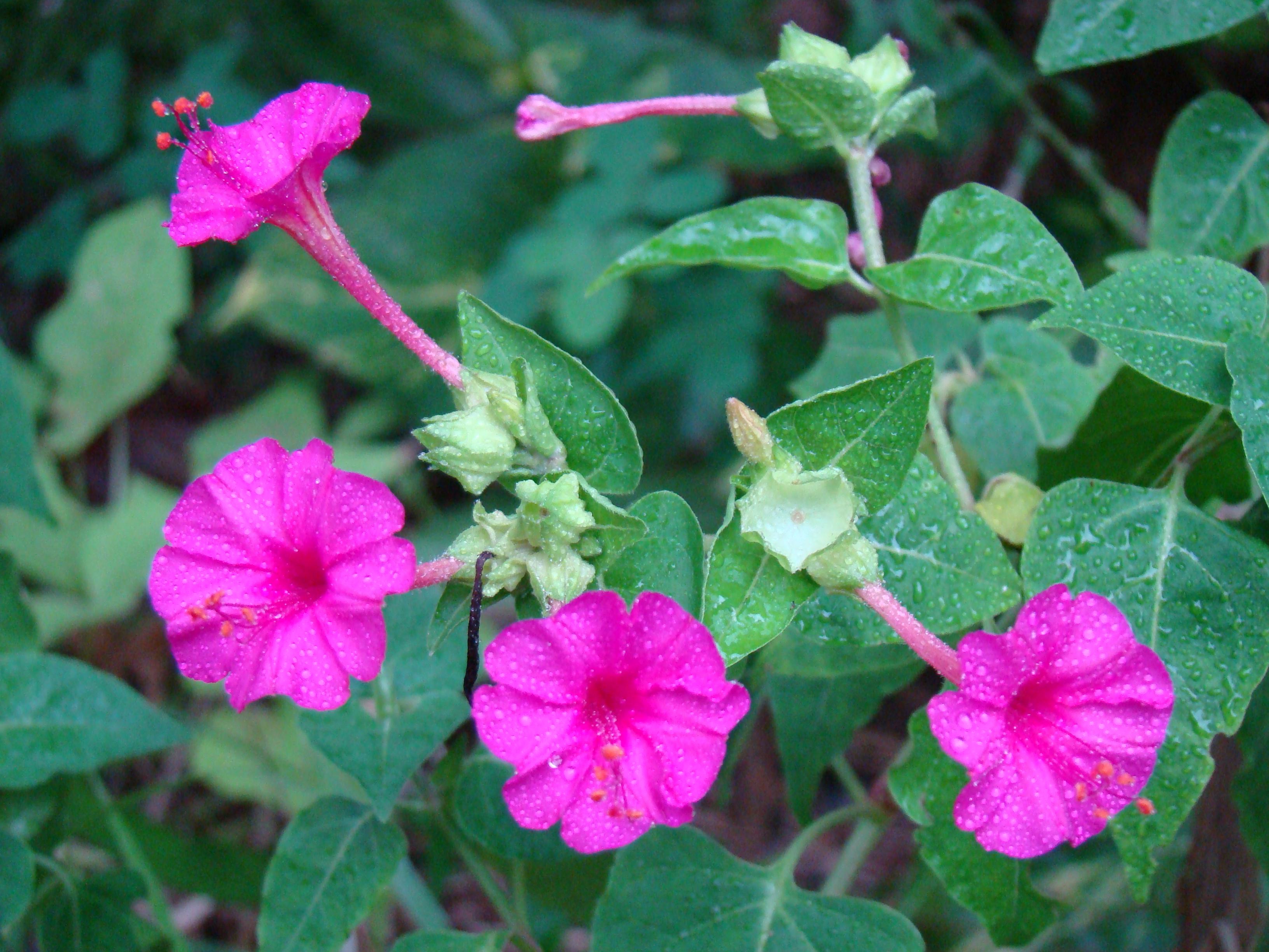 Maravilha Planta Wikipédia A Enciclopédia Livre
