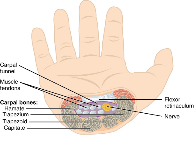 Carpal tunnel - Wikipedia