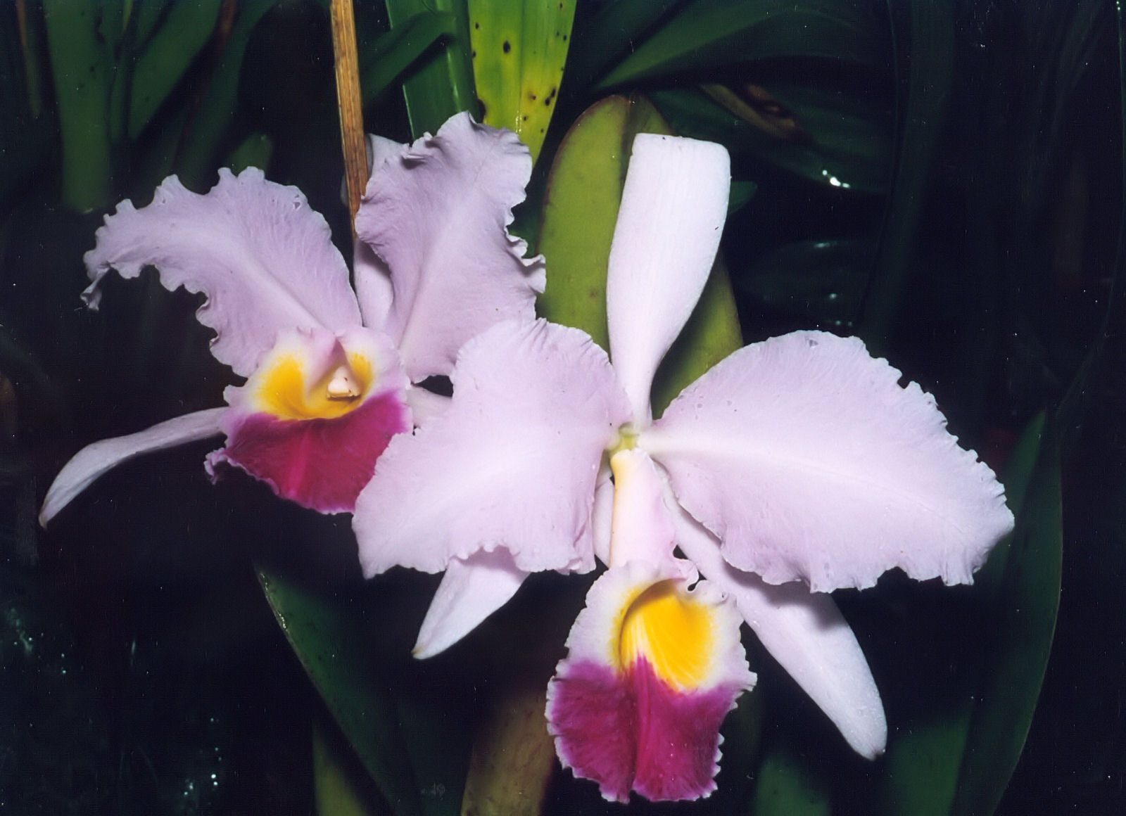File a and b larsen orchids cattleya trianae 503 for Orchidea cattleya