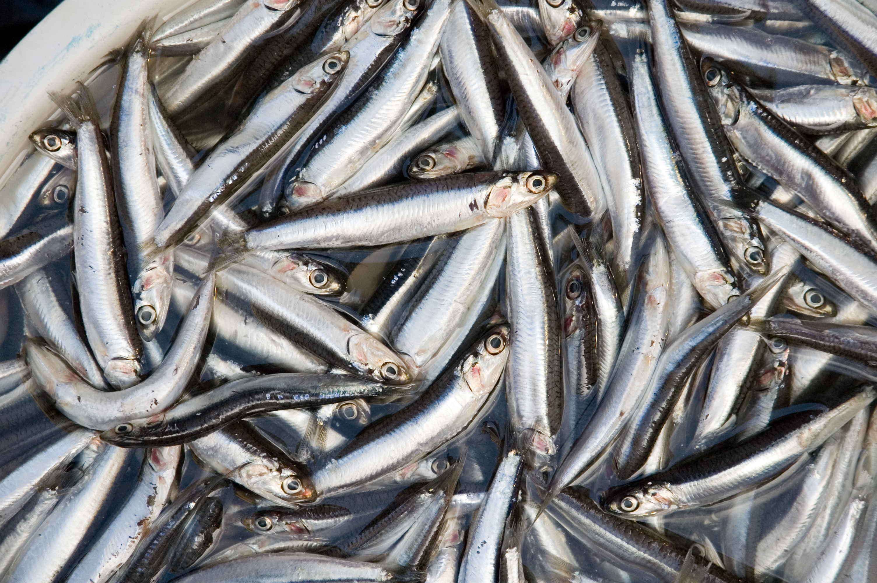 Picture of anchovies
