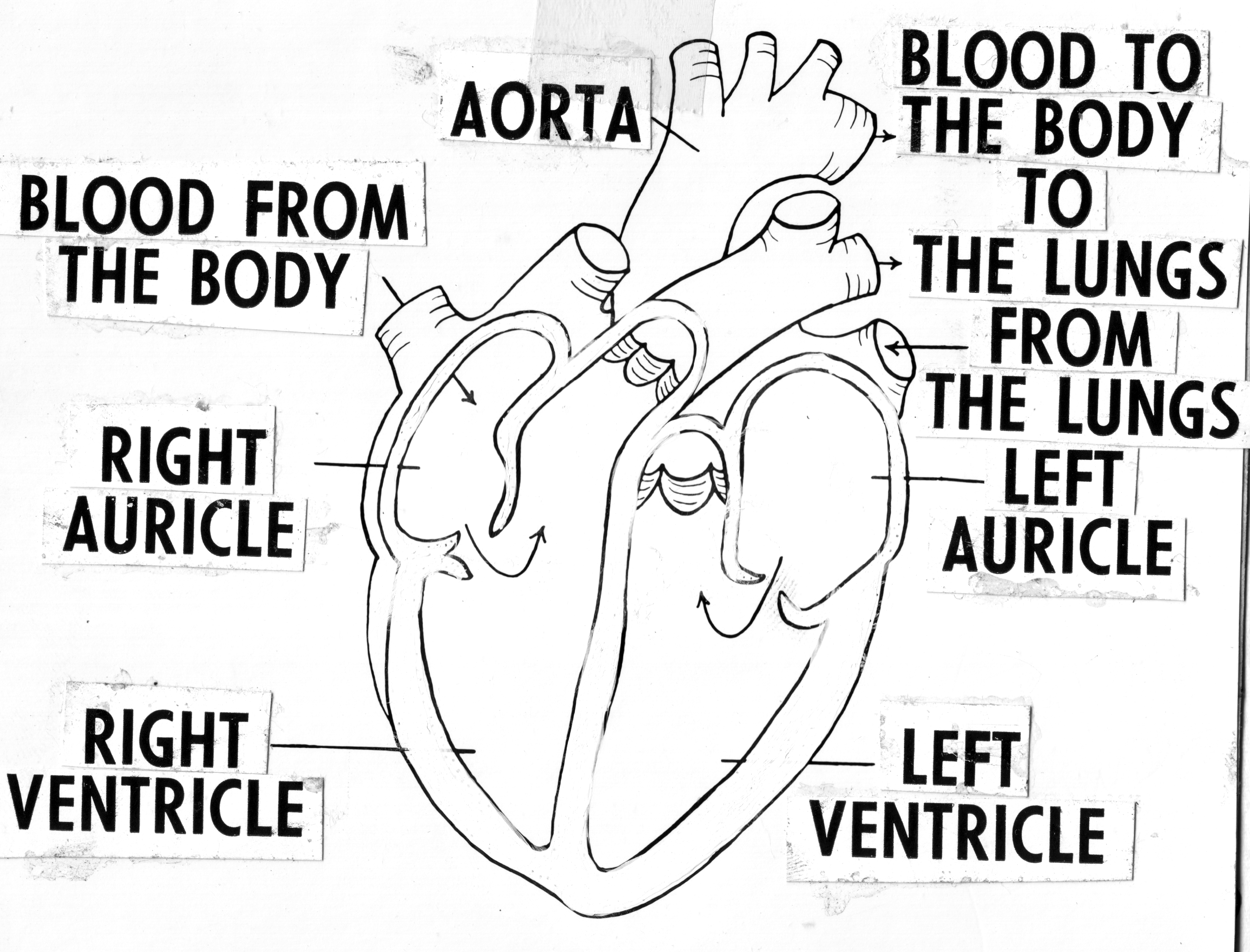 file annotated diagram of heart  line art   psf h