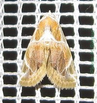 <i>Autoba costimacula</i> species of insect