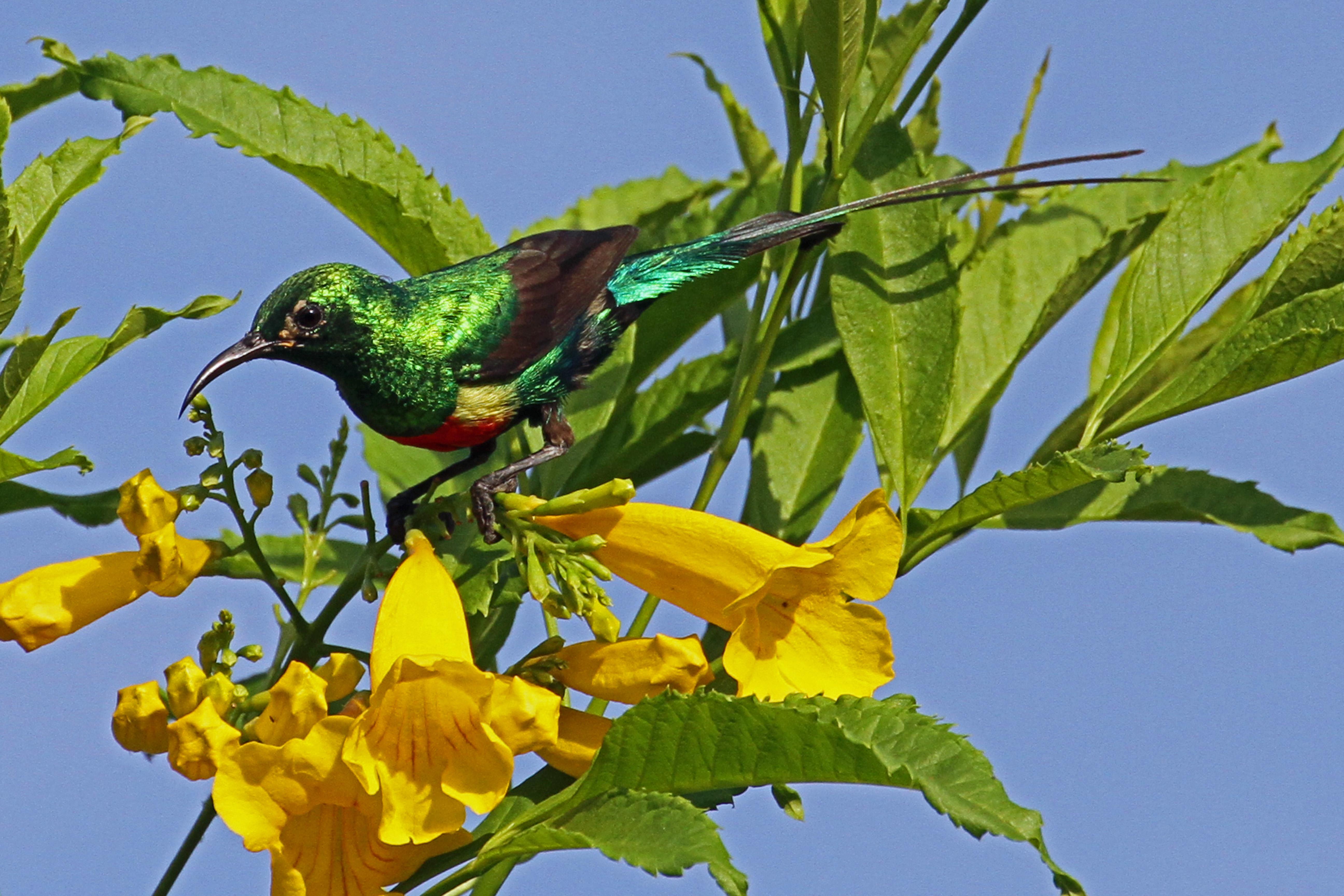 File:Beautiful Sunbird, the most colourful bird in Gambia