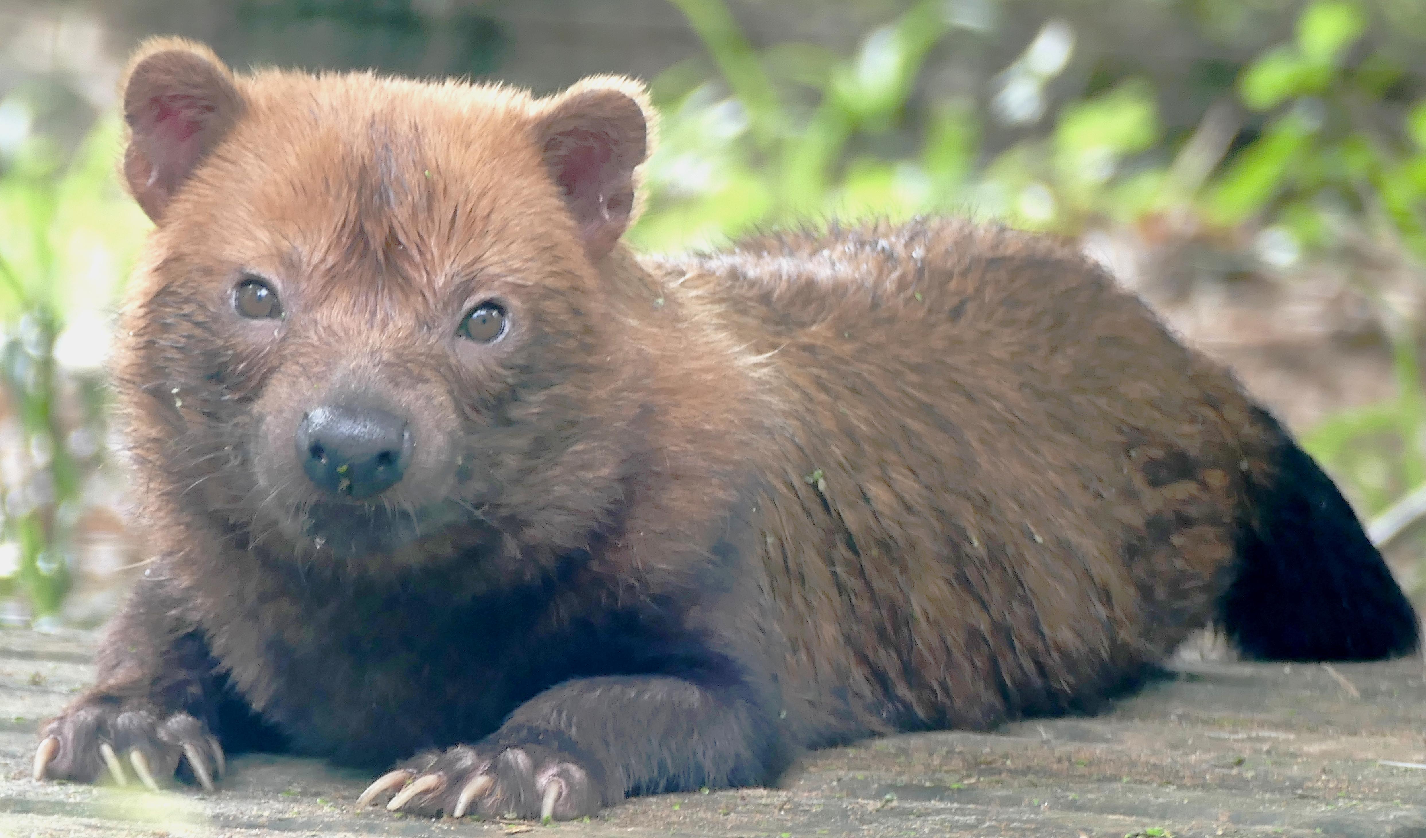 Cachorro Vinagre Wikipédia A Enciclopédia Livre
