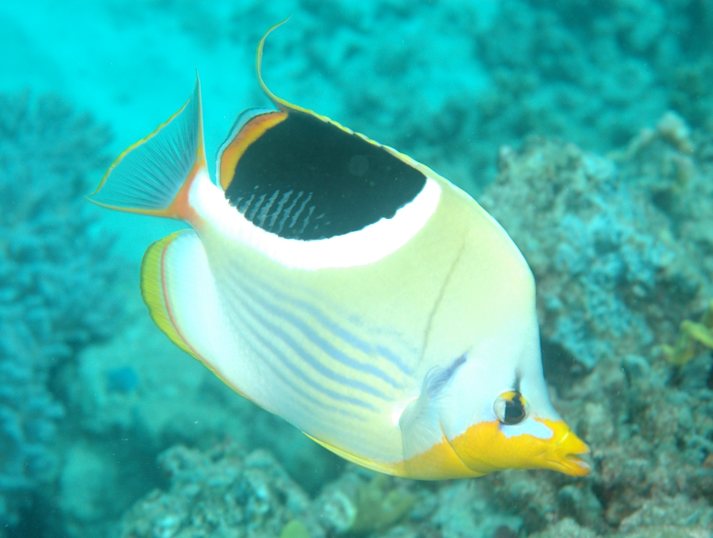 Butterflyfish species for Fish types to eat