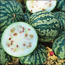 Citron melon species of plant