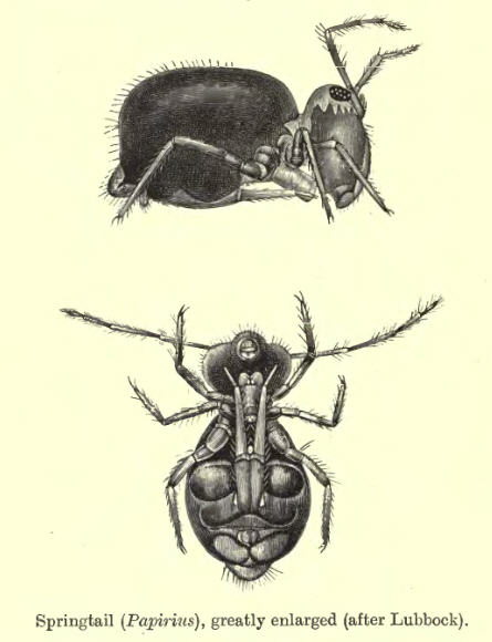Taxonomic drawing of globular springtail displaying furcula
