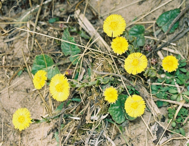 File:Coltsfoot (Tussilago farfara) - geograph.org.uk - 196076.jpg