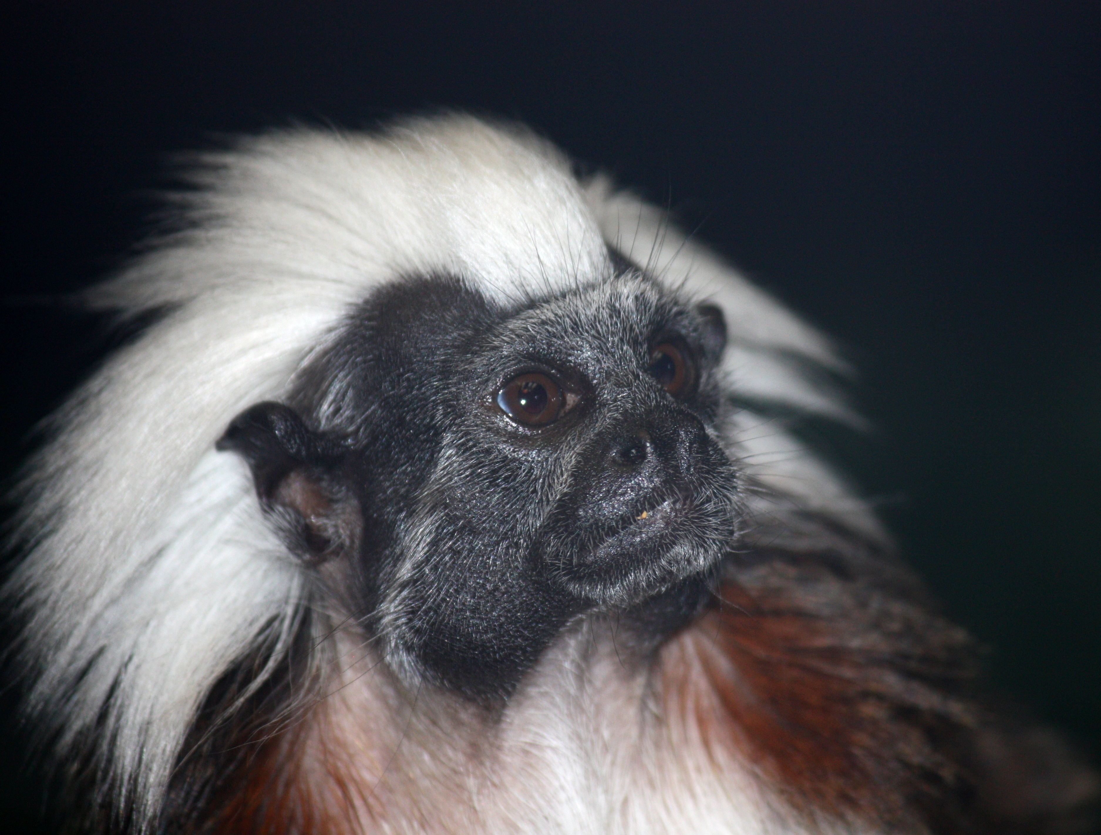 Cotton Top Marmoset