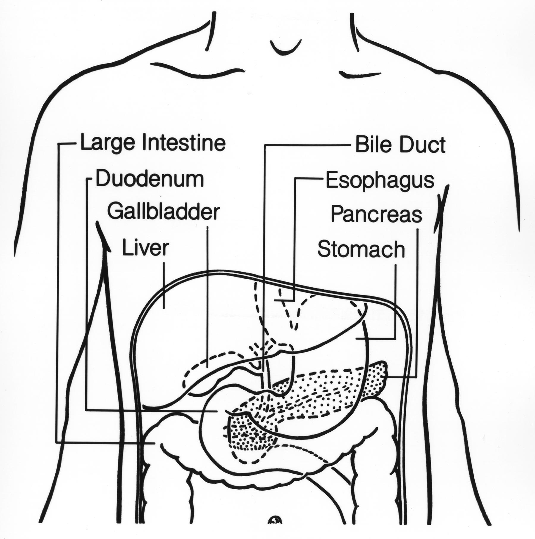 File:Digestive tract (upper).jpg - Wikimedia Commons