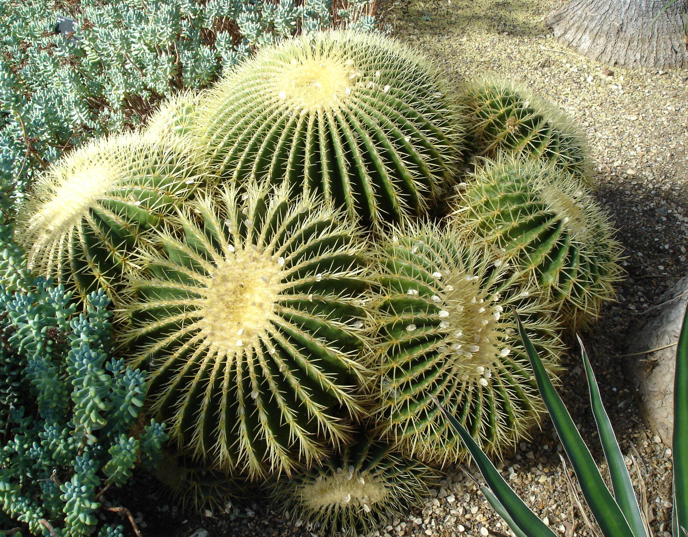 Barrel Cactus Adaptations Barrel Cactus Are Often Grown