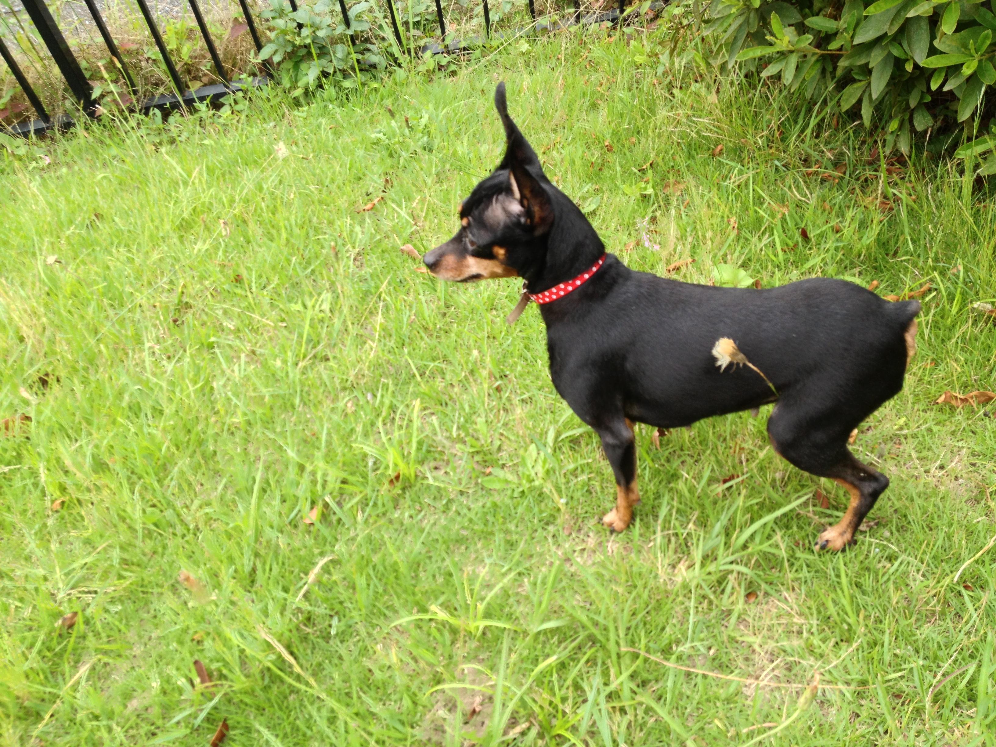 File:Female miniature pinscher breed of dog in grassy park in Yokohama,  Japan.jpg - Wikimedia Commons