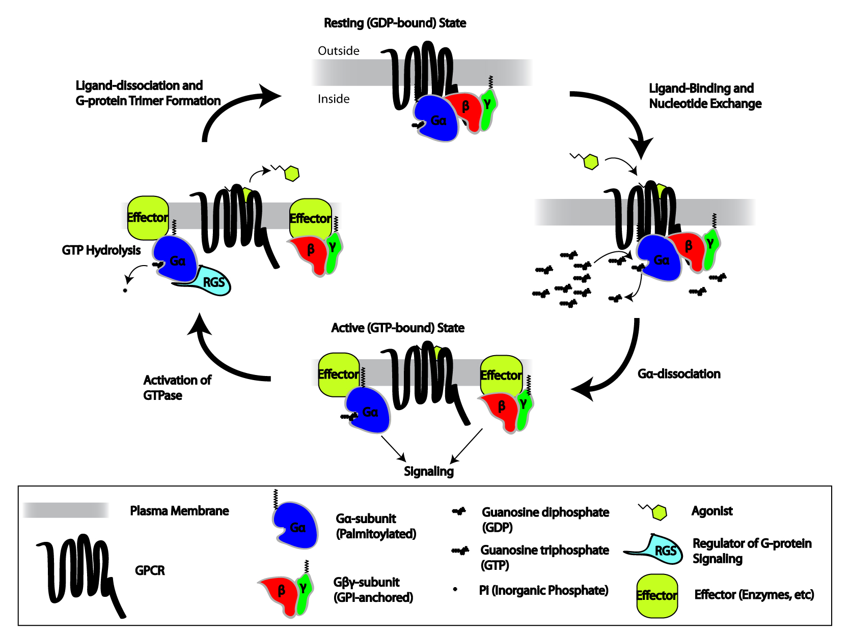 can travel throughout the cell 8 7TM receptors - CHM - CHM2046