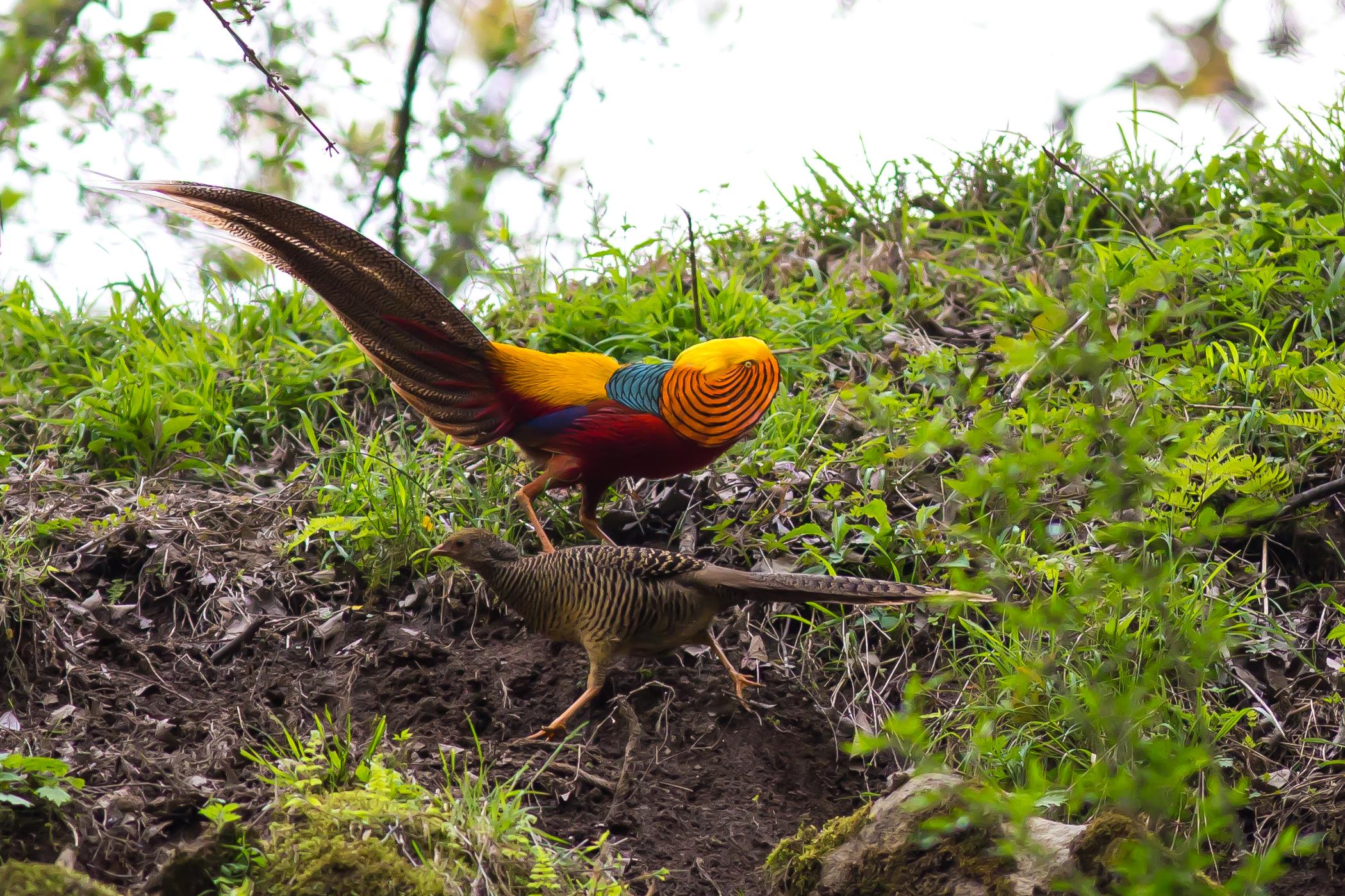 Can A Pheasant Fly Through A Glass Window