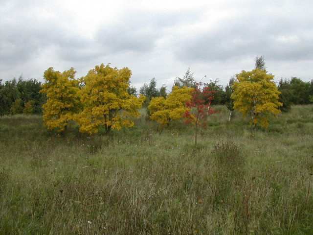 Golden trees in a brown autumn meadow - geograph.org.uk - 55402