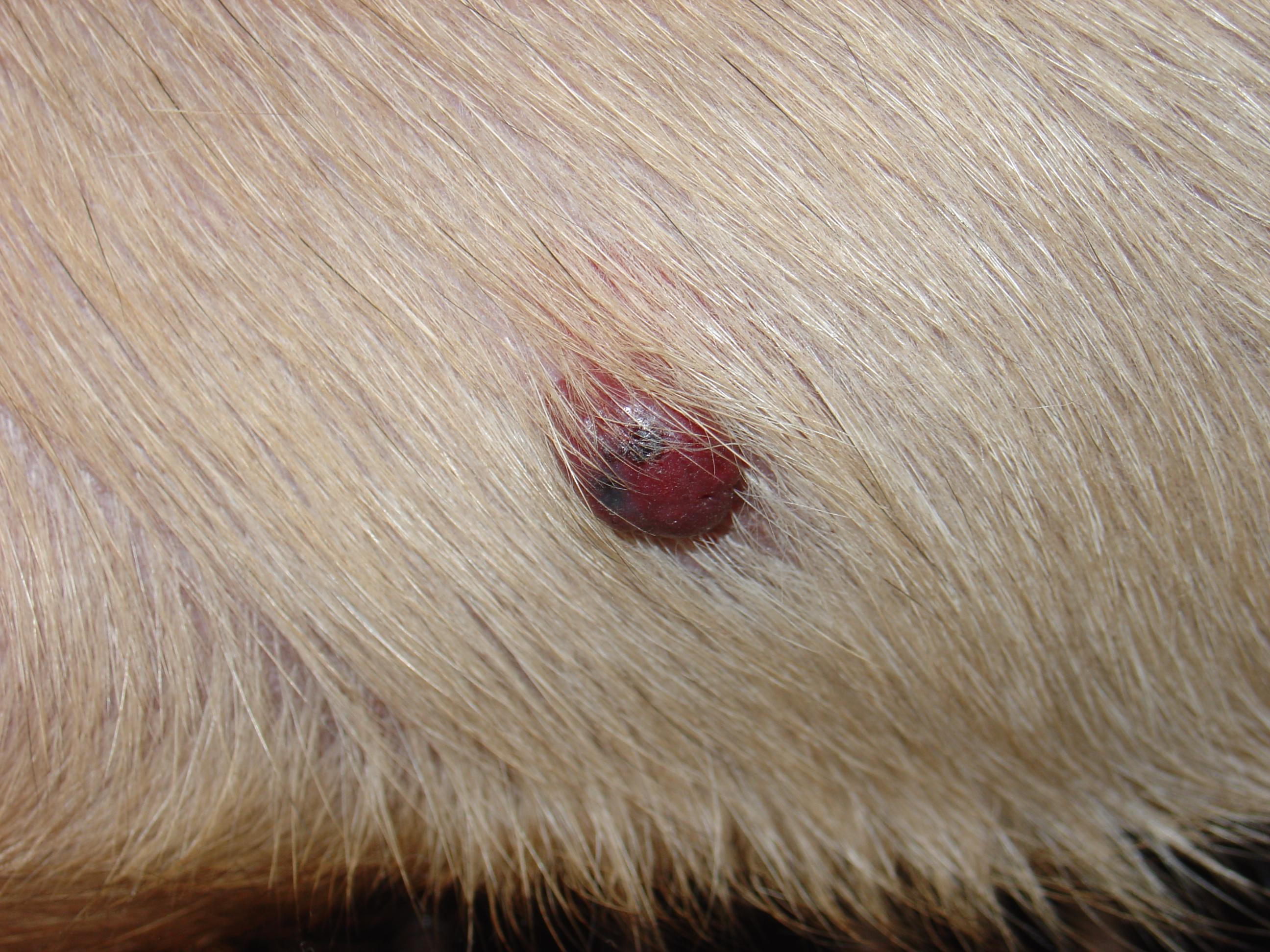 Description Hemangiosarcoma of skin JPGBlack Skin Papillomas Dog