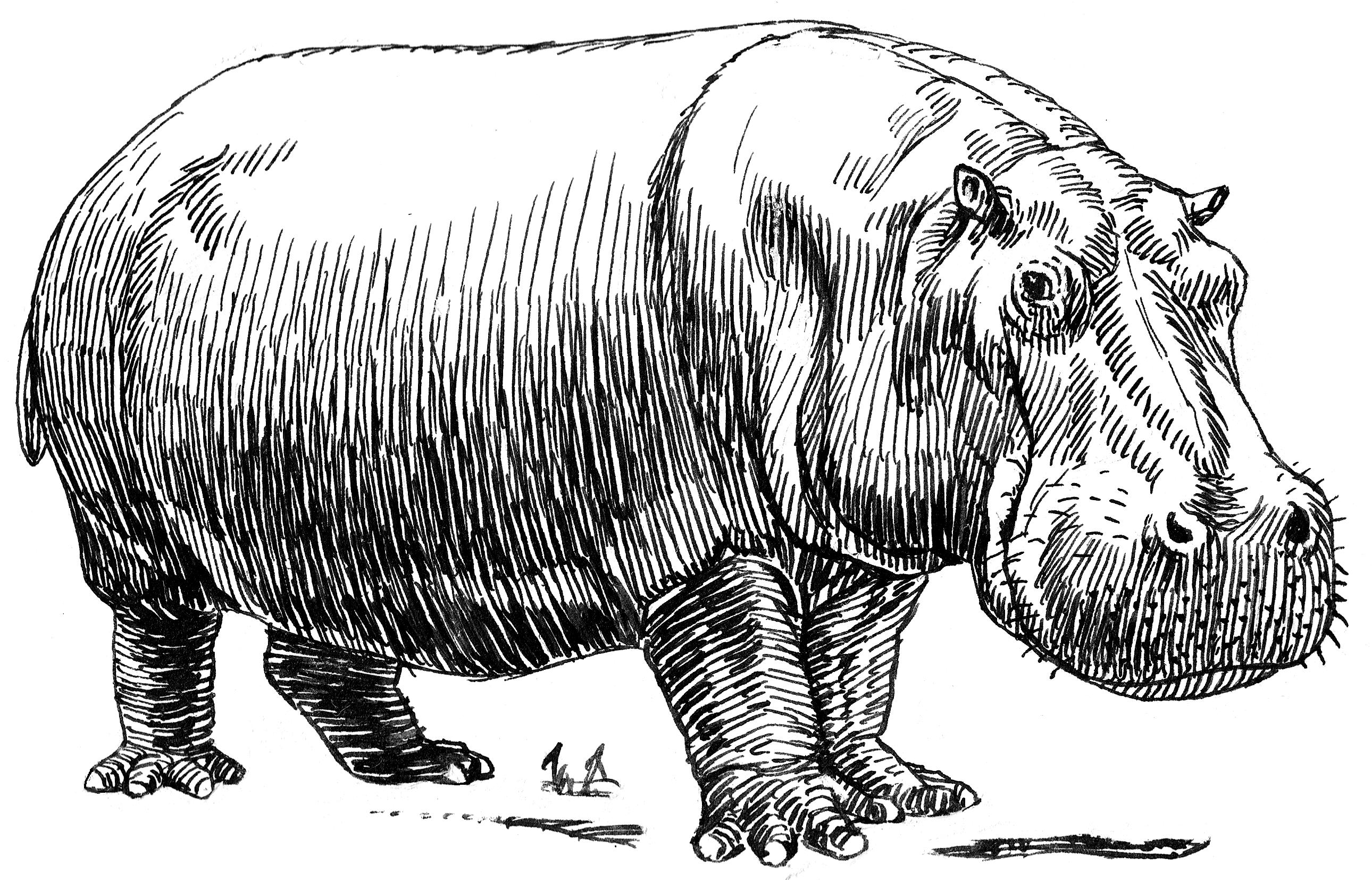 Line Drawing Wiki : File hippopotamus psf wikimedia commons